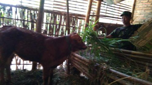 031118tmmd satgas tmmd makani sapi