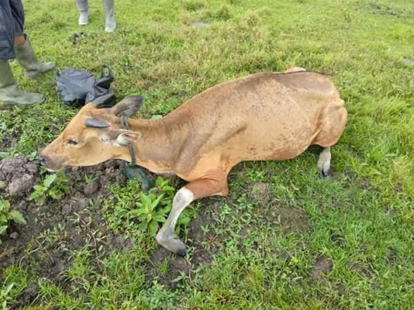 sapi korban diare
