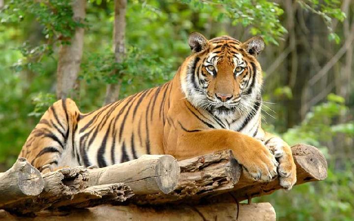 harimau gembira loka