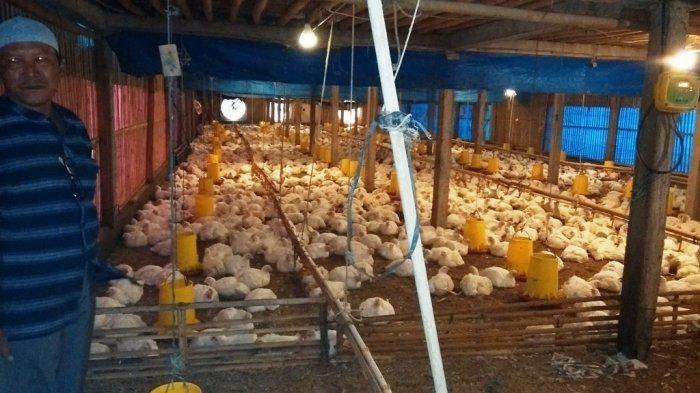 peternak ayam potong di magelang