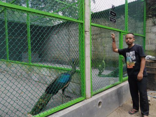Pemuda Ini Hasilkan Omset Puluhan Juta Lewat Penangkaran Ayam Hias dan Burung. Sepasang Merak Hijau Jawa Dibanderol Fantastis Capai Rp 25juta
