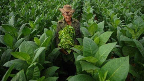 Kebijakan Pemerintah Soal Pertembakauan Selalu Bikin Petani Terpukul